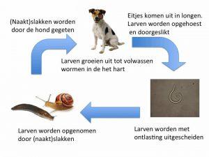 cyclus frans hartworm