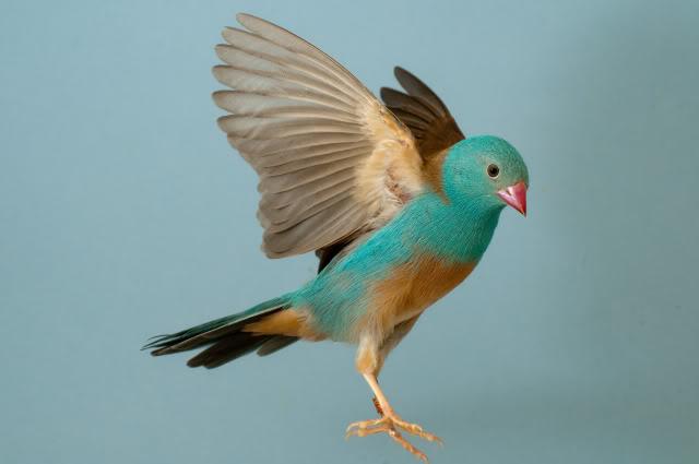 blauwkopfazantje vliegend