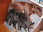 Geboorte bij de hond