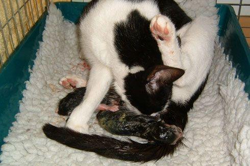 bevalling kat