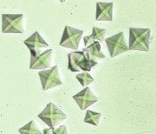 calciumoxalaat kristallen