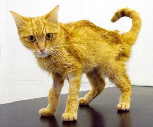kat met nierfalen
