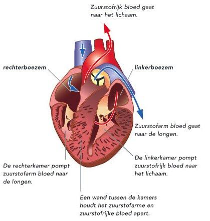 doorsnede hart gezond