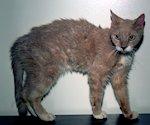 Hyperthyreoidie bij de kat
