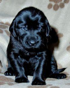 puppy flatcoat