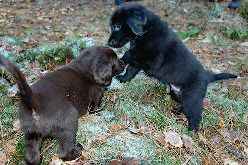spelende puppy's