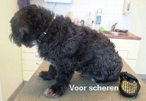 hond voor het scheren2