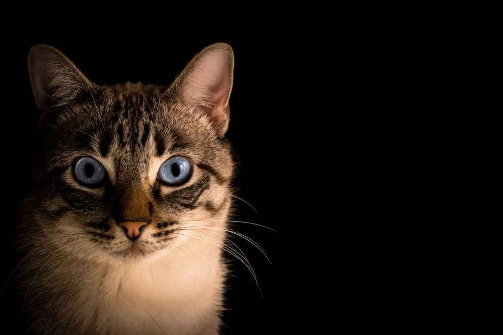 kat_portret_cypers_met_blauwe_ogen